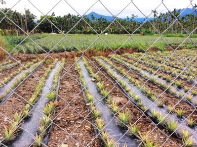 台灣水果要外銷時,常會遇到農藥檢測的問題。圖/讀者提供