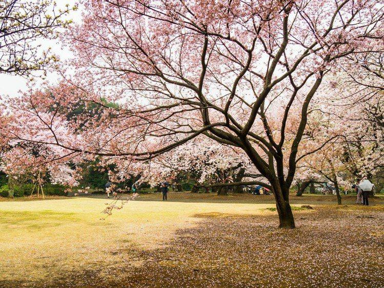 賞櫻名所100選之一,東京新宿御苑。圖/易飛旅遊提供