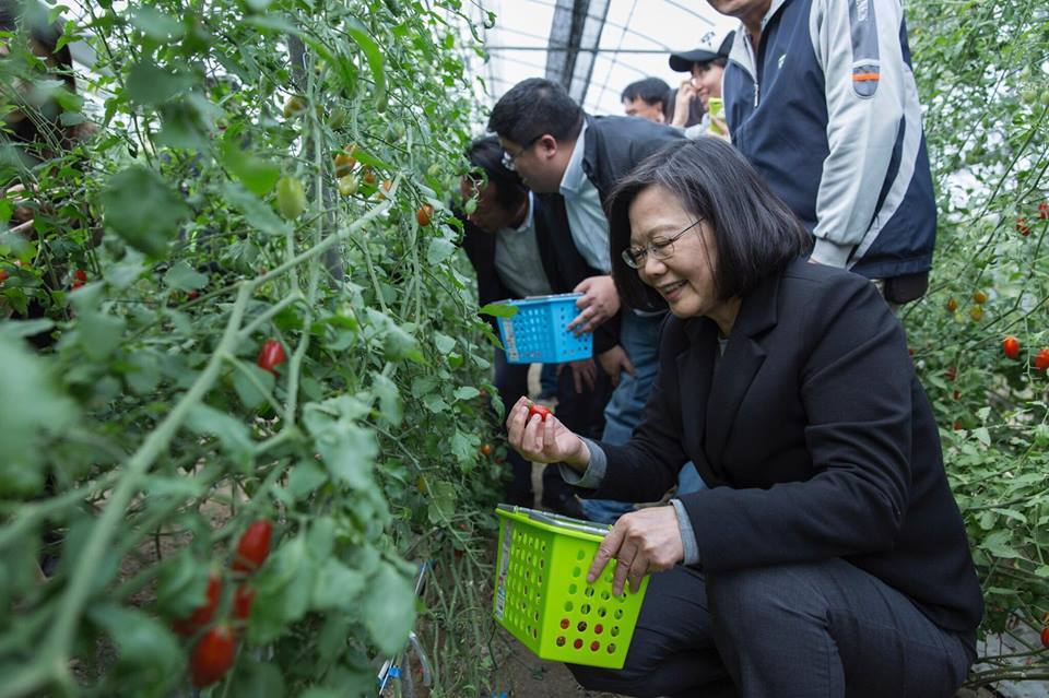 蔡英文總統日前到嘉義縣太保市果園採摘小番茄。圖/蔡易餘辦公室提供