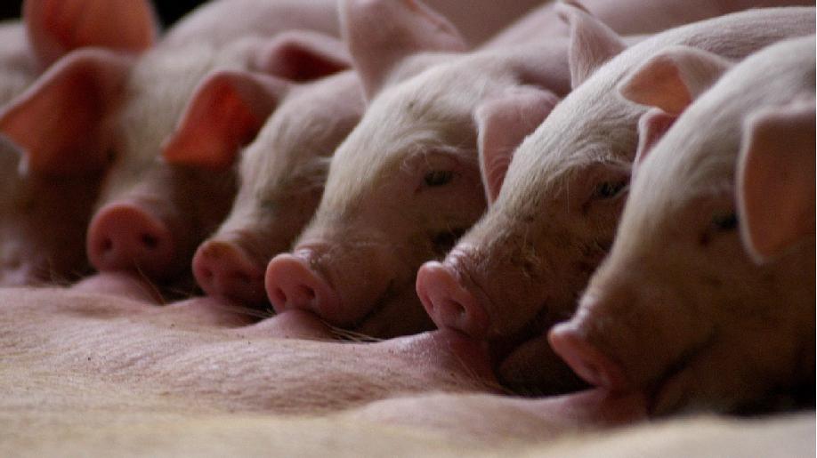 大陸25省出現非洲豬瘟疫情,中共農業部強調防控工作正處於攻堅階段,嚴防二次擴散。...