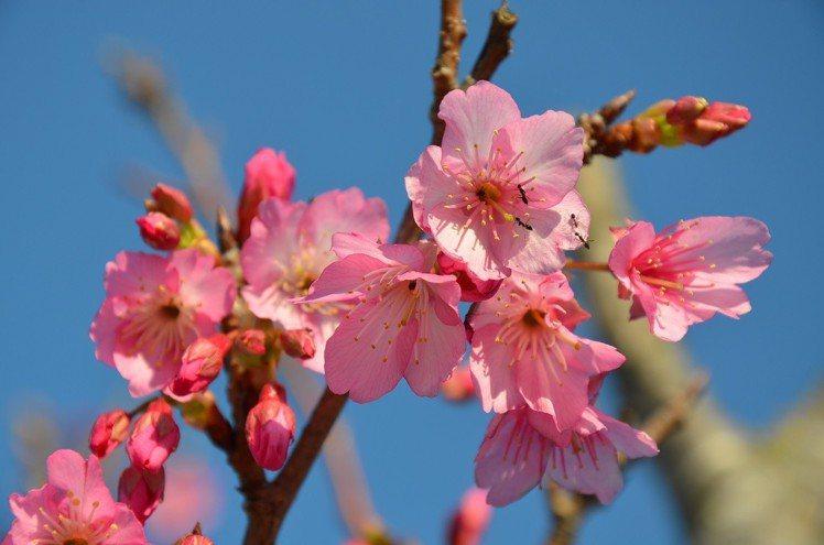 「本部八重岳櫻花祭」為沖繩當地與全國最早開花的櫻花祭。圖/樂天旅遊提供