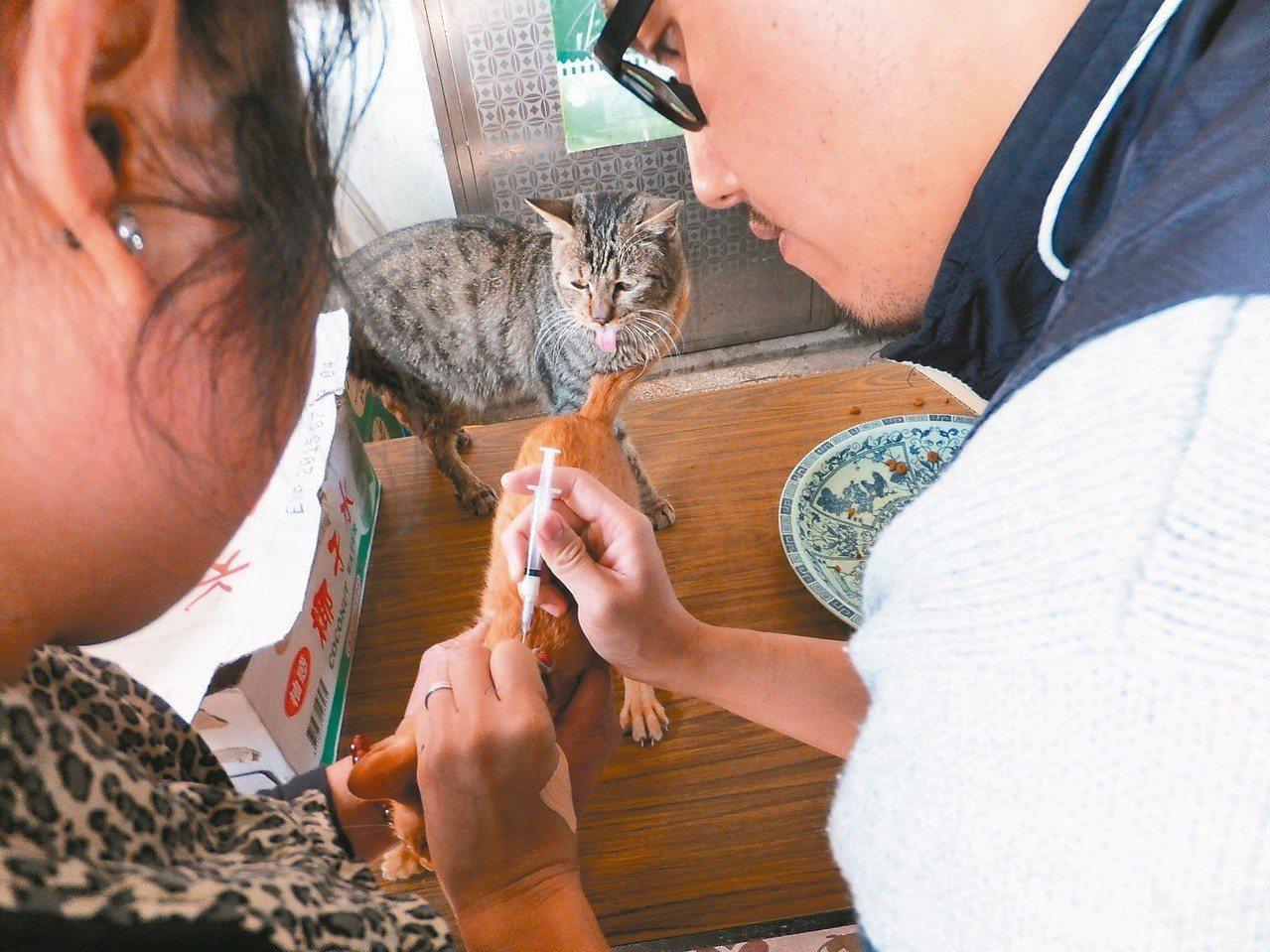 猴硐貓村的貓每年都會定期施打三合一疫苗,以防範貓瘟等疾病。 圖/新北市動保處提供