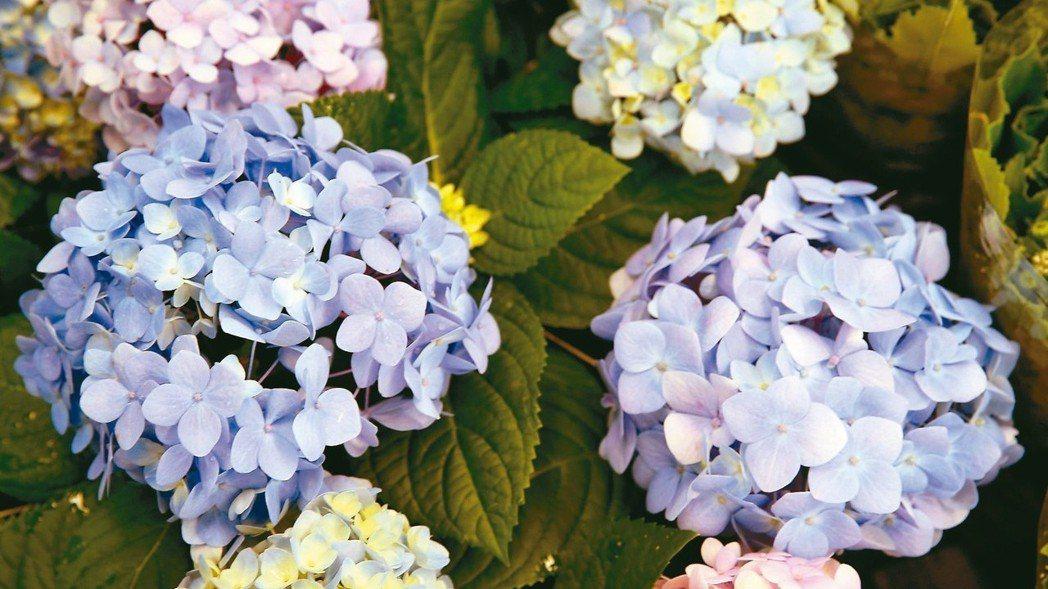 繡球花。 圖/記者曾吉松