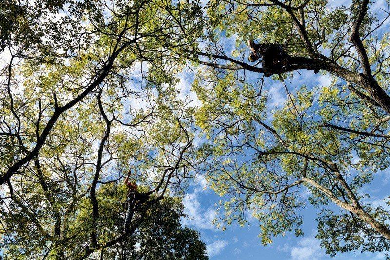 攀樹師深入大樹之中,為樹木作細部修剪。