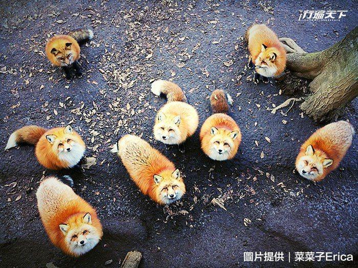 這張藏王狐狸村狐狸仰頭望的作品獲得2016年IPPA動物類冠軍。