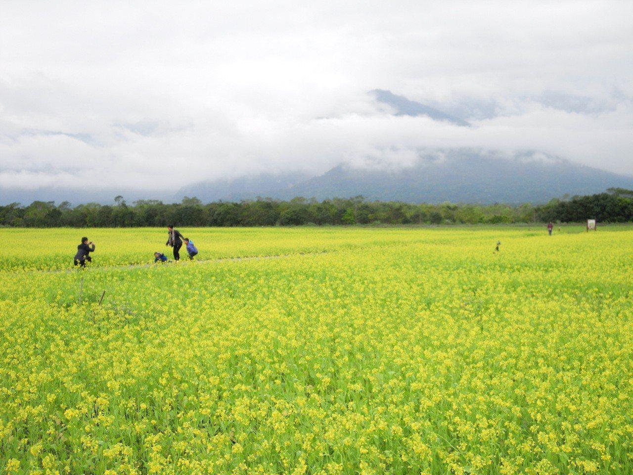 花蓮林管處春節期間在大農大富平地森林園區,打造縱谷最大的花海。記者王燕華/翻攝