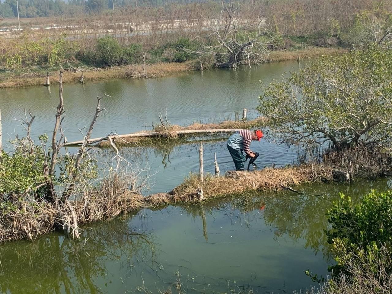 搶救人員在七孔水門旁水池,發現該鸕鶿遭網子纏住,著裝涉水順利將鸕鶿救回。圖/嘉義...