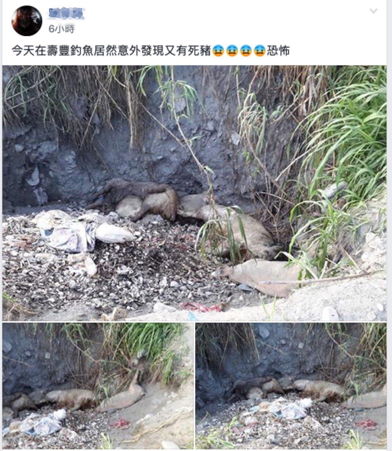 花蓮縣壽豐鄉今天下午有民眾釣魚時,在溪床發現病死豬。記者王燕華/翻攝