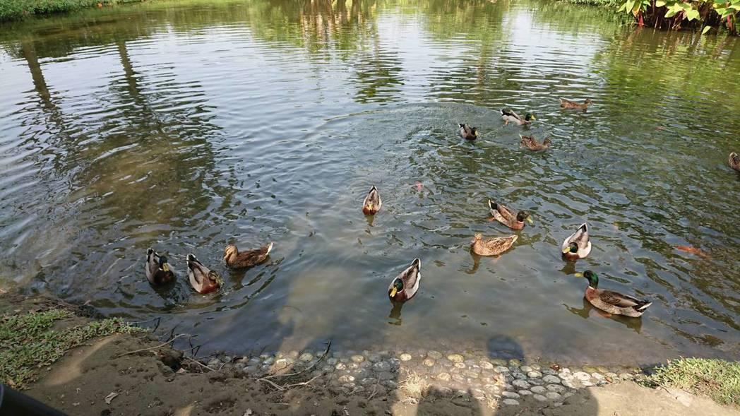 古坑服務區生態利池,小水鴨很可愛。 圖/高公局提供