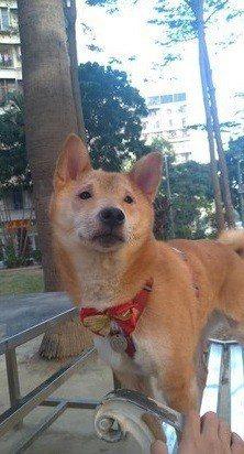 可愛的柴犬有著一雙小眼睛,某些角度抿起嘴更有一張明星臉,神情頗似歌手李榮浩。 圖...