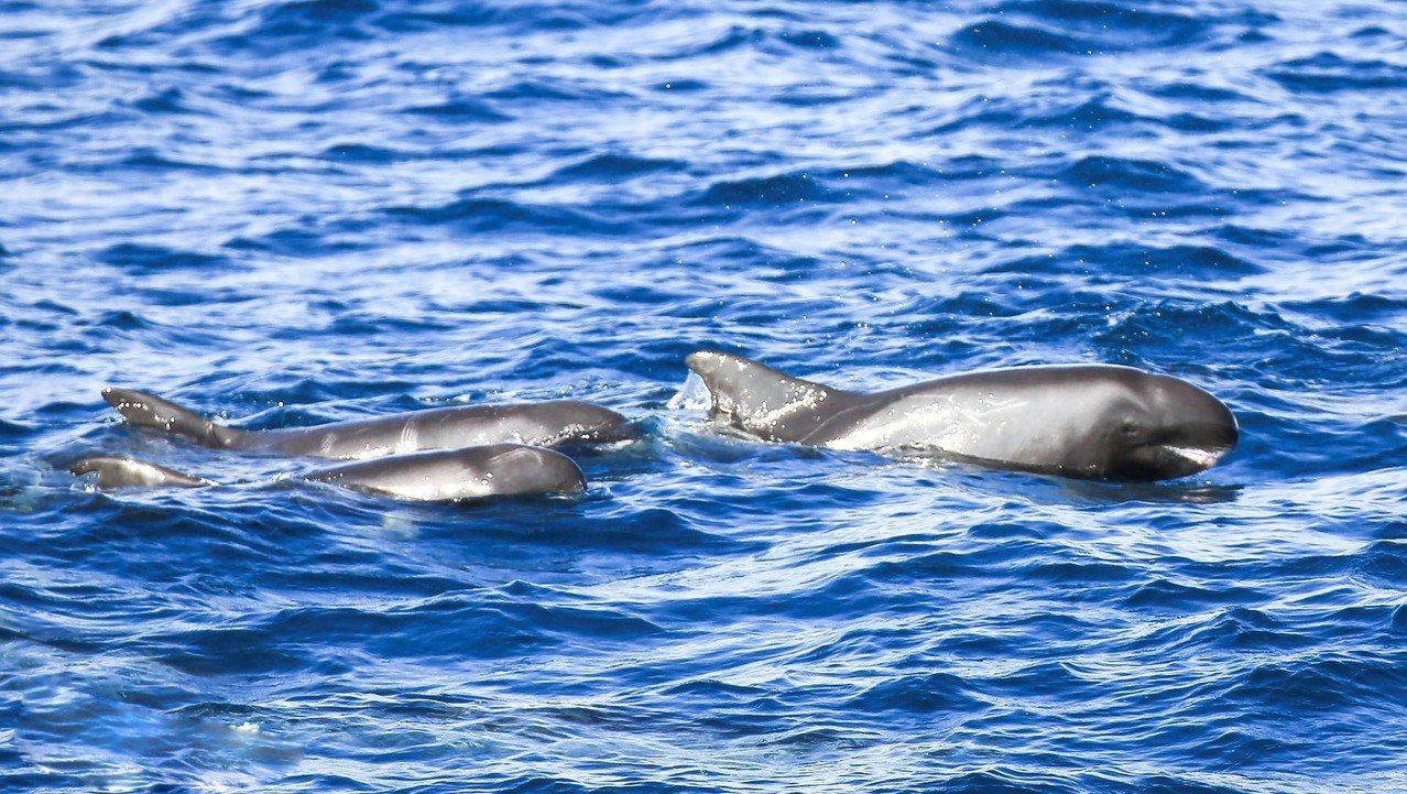 昨天有20多隻小虎鯨現身七星潭外海翻滾跳躍,搭配晴朗天空、湛藍大海,讓遊客直呼畫...