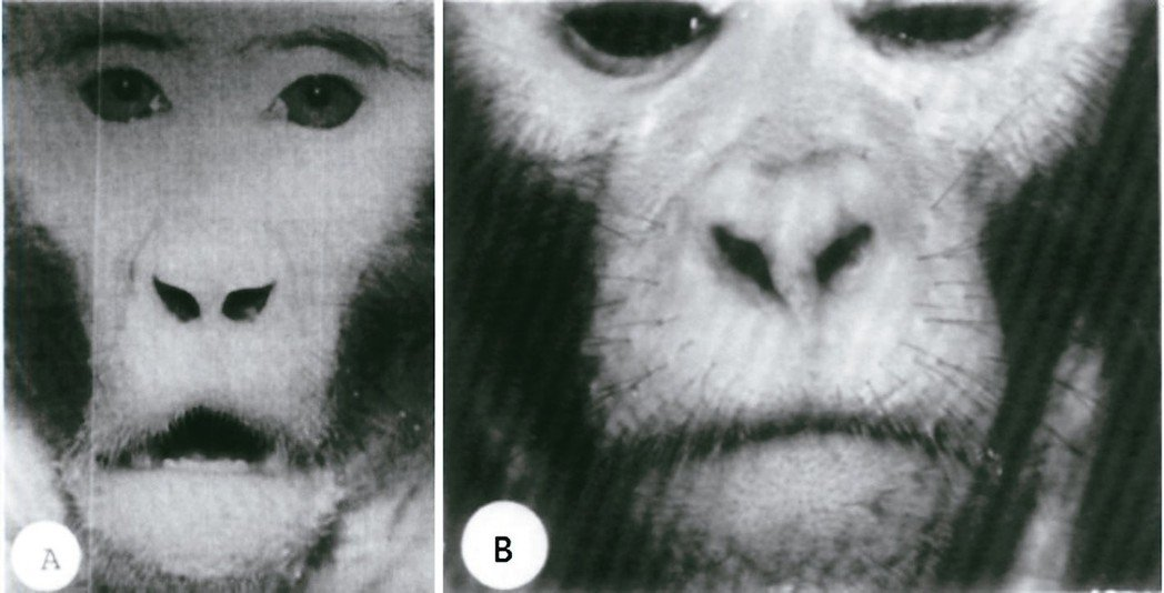 A:經過阻塞鼻孔三年後,該猴子維持口呼吸的習慣,可見到上唇之唇形改變,在嘴唇中央...