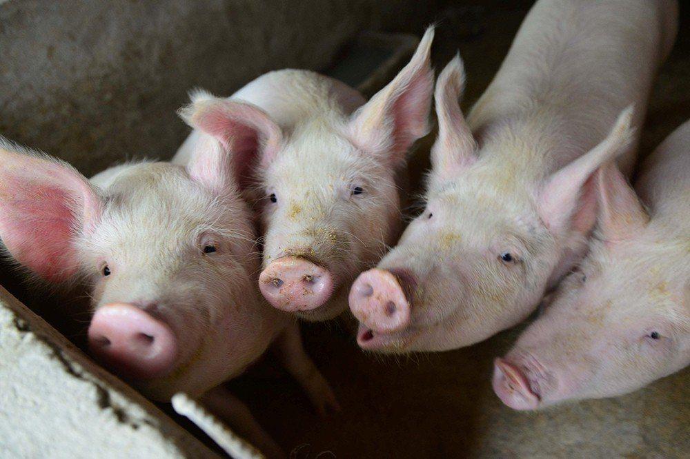 中國海峽兩岸農業交流協會二日首次傳真給台灣農村發展基金會,說明非洲豬瘟疫情趨緩。...