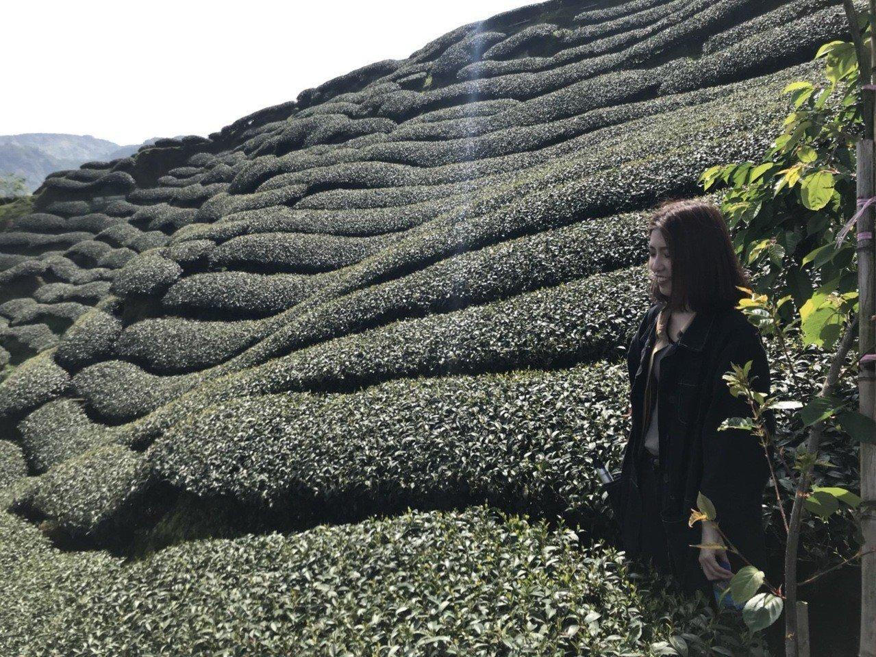 南投縣竹山鎮八卦茶園地形崎嶇如斗笠,一圈圈環繞的茶園景觀,令人嘆為觀止成知名的打...