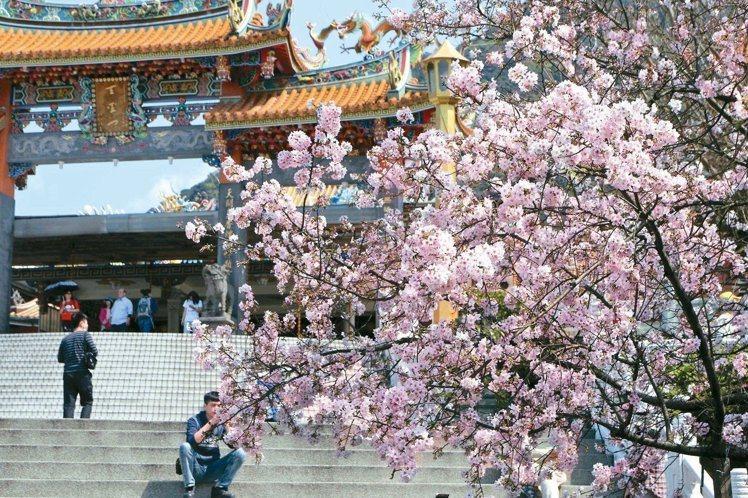 淡水天元宮櫻花備受北台灣旅客關注。圖/本報系資料照