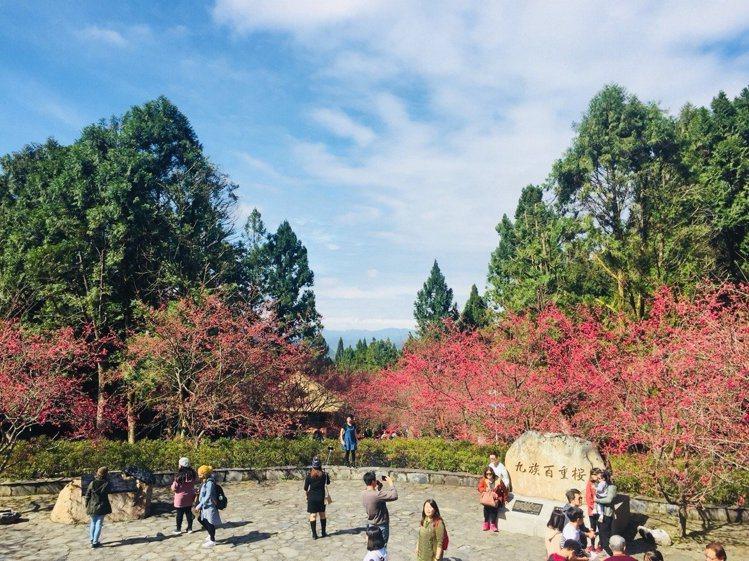 九族文化村每年都會舉辦櫻花祭。圖/九族文化村提供