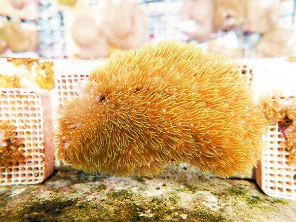 台灣四面環海,生長在海底中顏色鮮艷、姿態優美的珊瑚,除能提供給其他海洋生物做為棲...