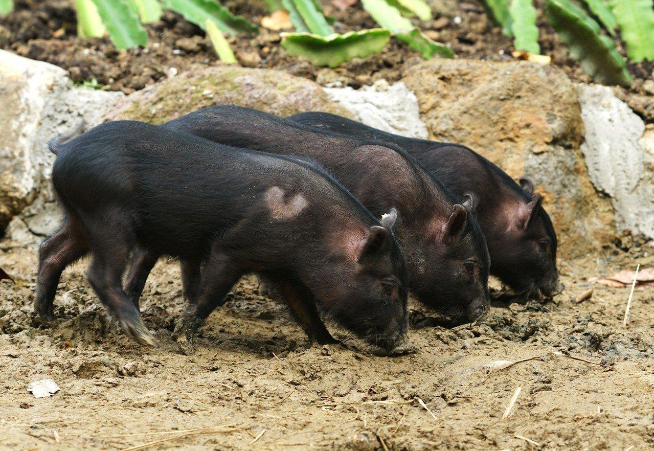 6隻蘭嶼豬寶寶已在兒童動物區公開亮相。台北市立動物園/提供