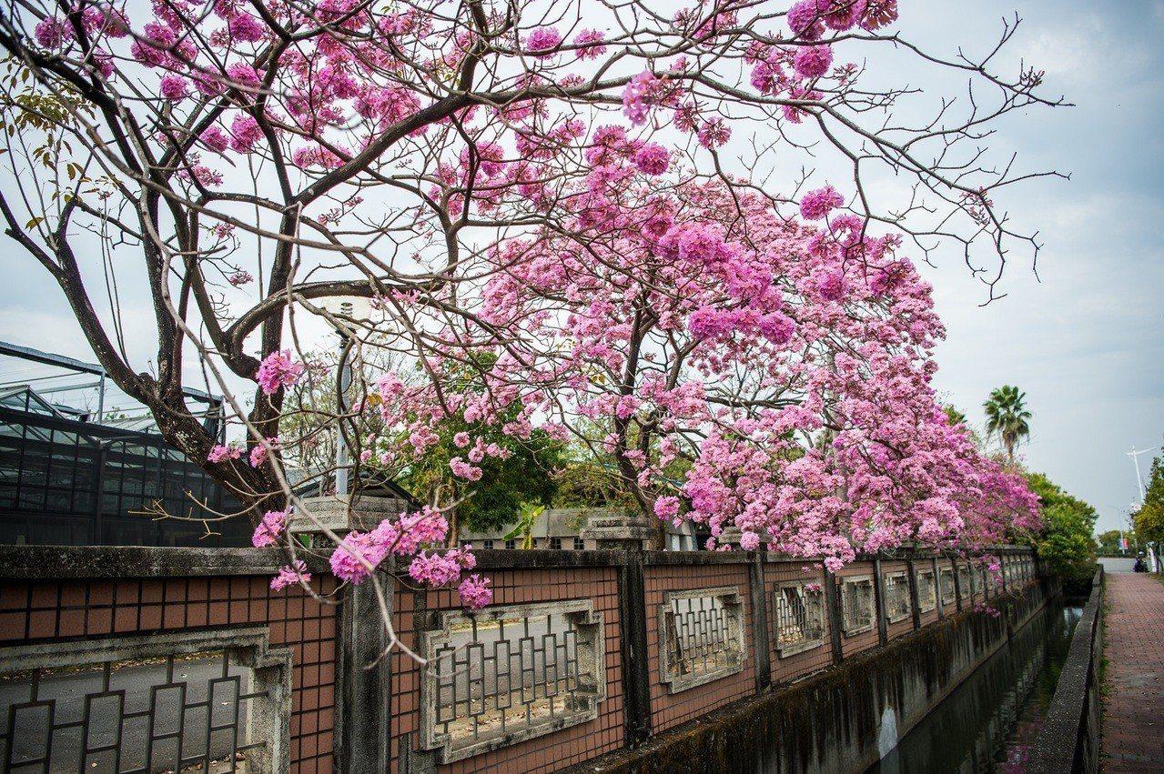 嘉義市世賢路、高鐵大道一帶的洋紅風鈴木提前綻放,粉嫩花朵捎來春天的信息,襯著蔚藍...