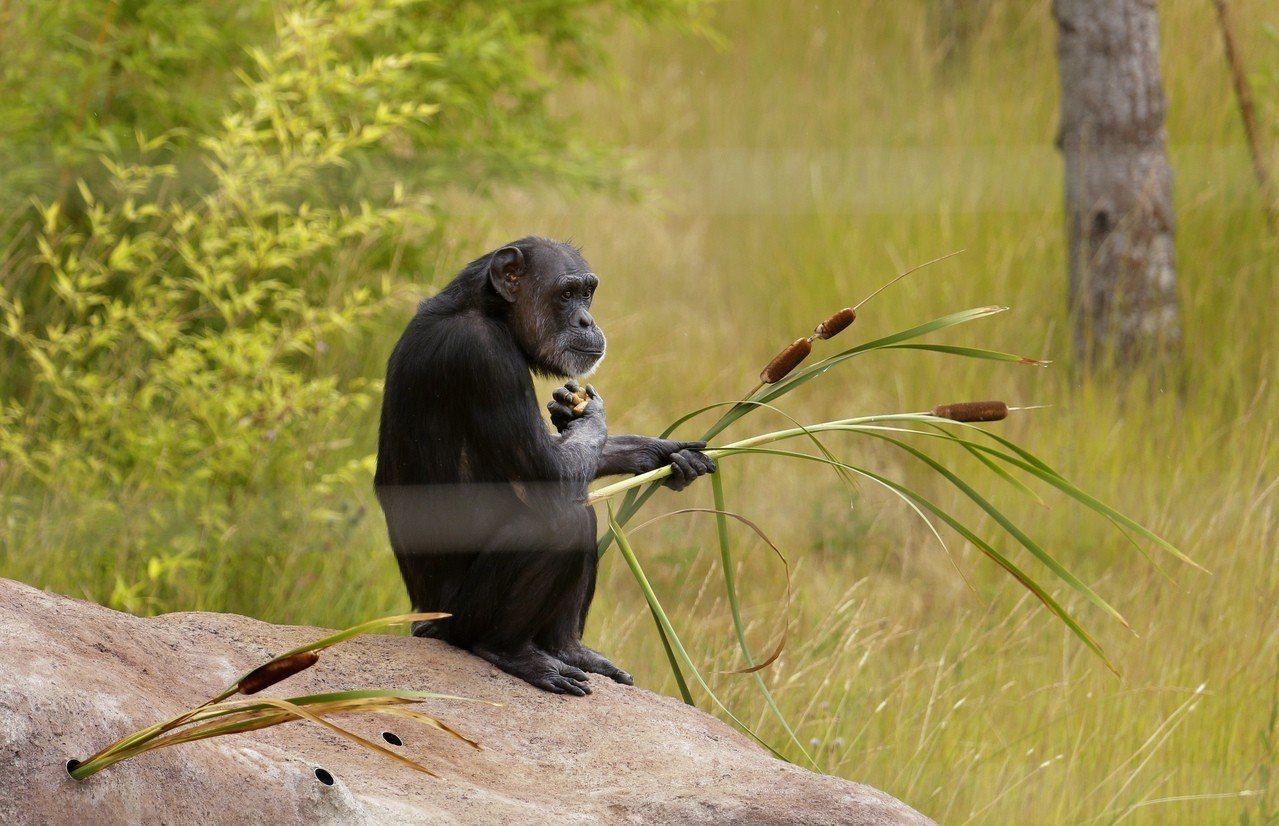一隻黑猩猩手握植物,靜坐在岩石上。示意圖,非新聞當事動物。(美聯社)