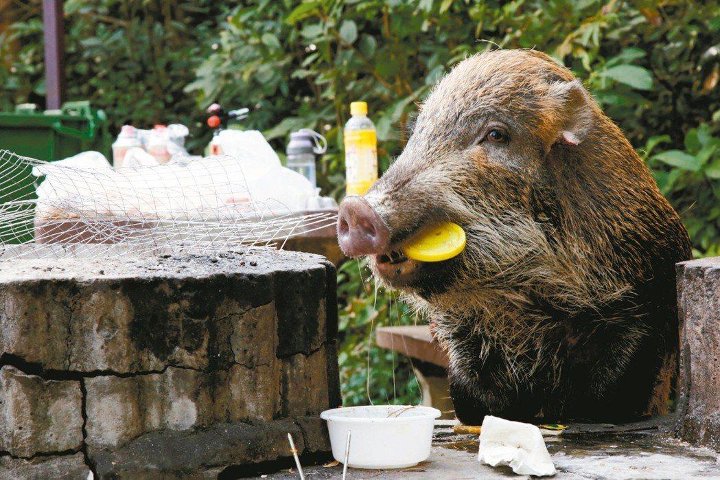 香港多地遭野豬入侵,不少野豬會在路邊垃圾桶找食物,還會吃烤肉架上剩餘的食物。 路...