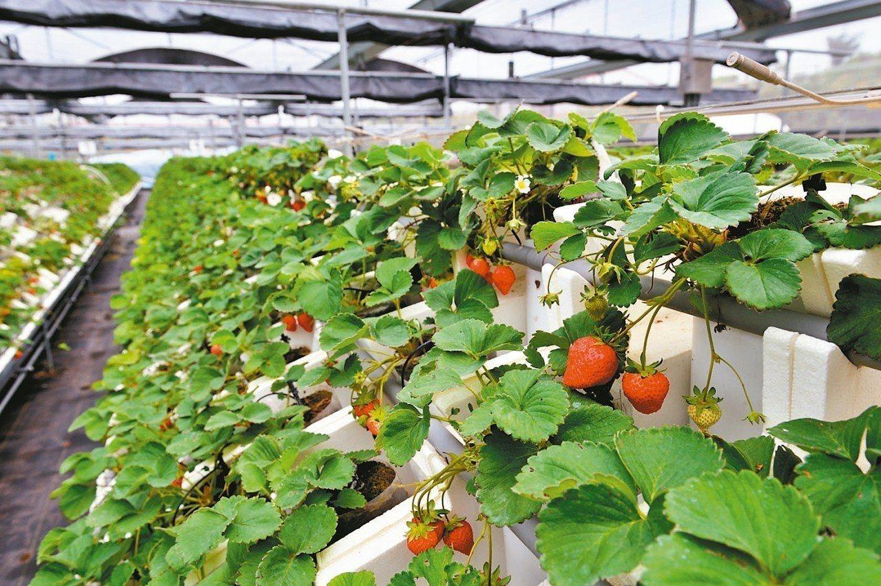 位於中台灣的南投草屯,有一座面積達880坪的智慧節能溫室,裡面栽種了6萬株的草莓...
