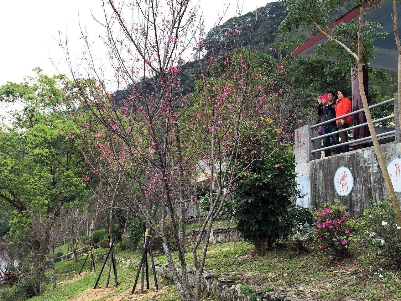 受暖冬影響,屏東縣霧台鄉的櫻花季不夠集中,目前只開了約5成,預計下一波要等到22...