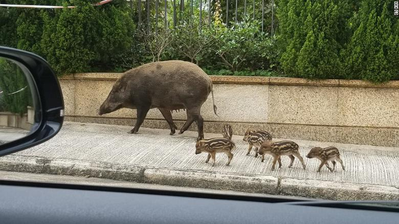 不少野豬在香港街道出沒。取自CNN