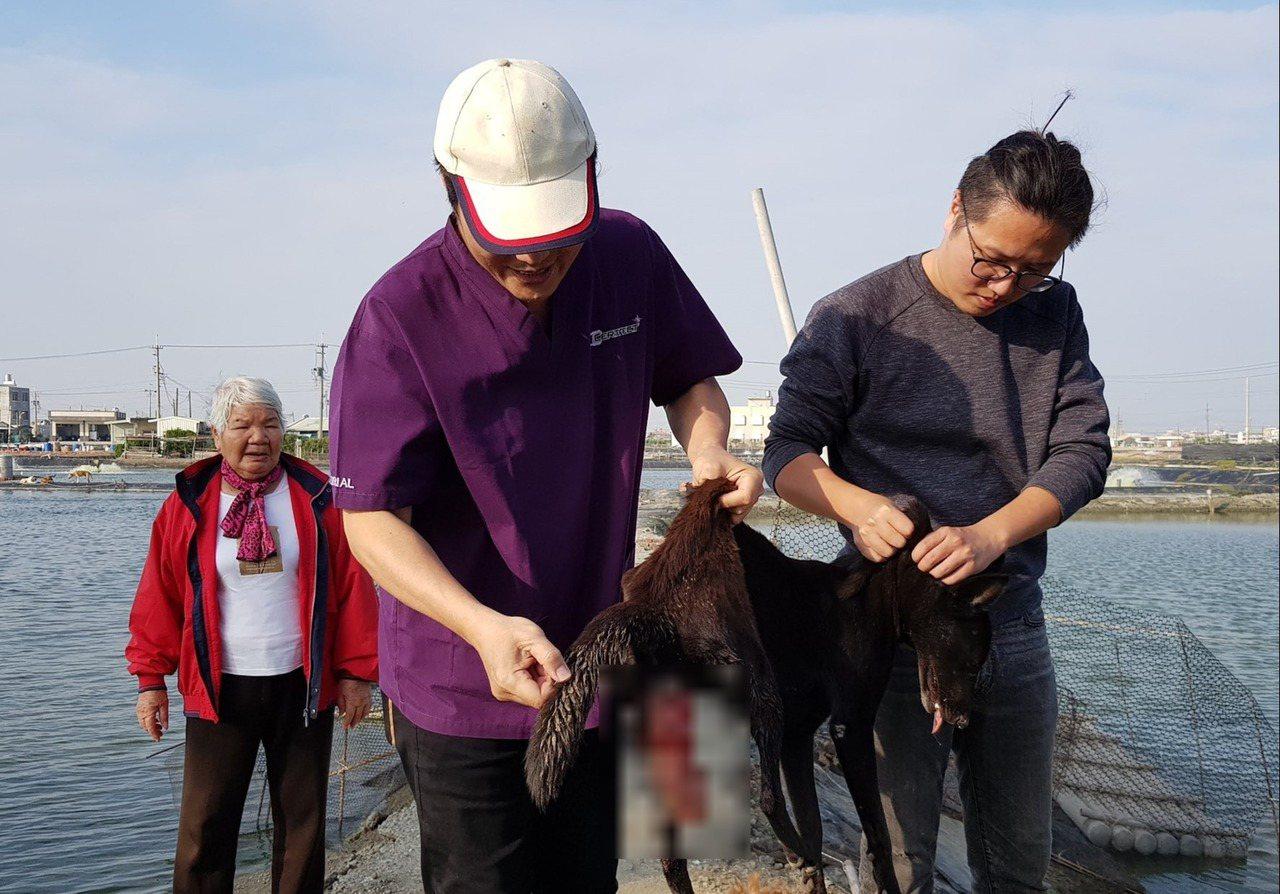 救援人員救回一隻罹患子宮脫垂的母犬,緊急送醫施予手術。圖/台灣動物緊急救援小組提...