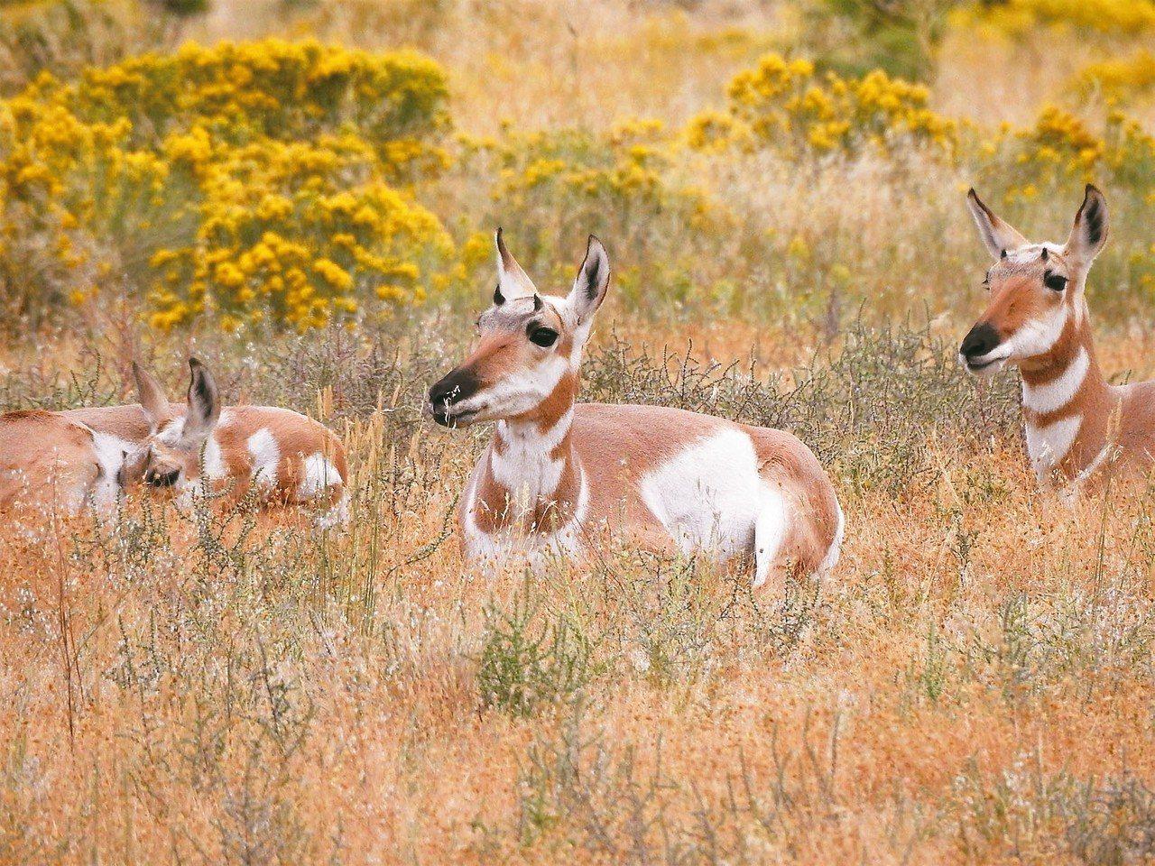 黃石國家公園,以多樣的生態系統,野生動物及許多地熱資源聞名。 圖/有行旅提供