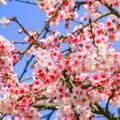台北賞櫻景點/東湖樂活公園夜櫻季 櫻花林粉嫩盛開