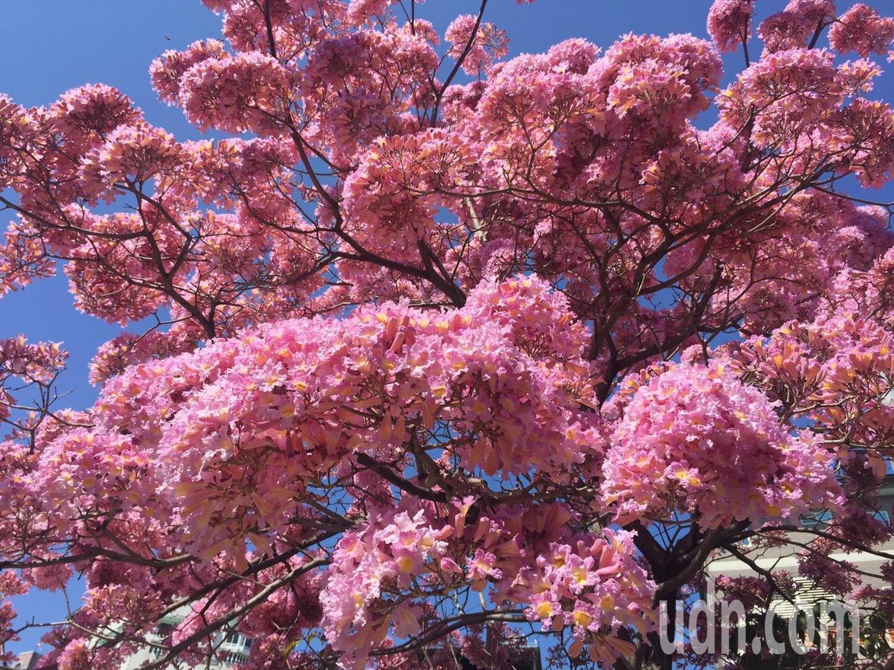 彰化市南校街南郭國小後門人行道上,那棵神奇的紅花風鈴木又盛開了,滿樹粉紅,就像是...