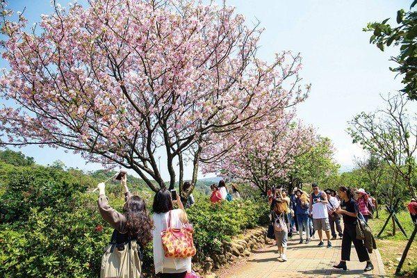 今年三芝櫻花季預計在3月16日登場。圖/三芝區公所提供
