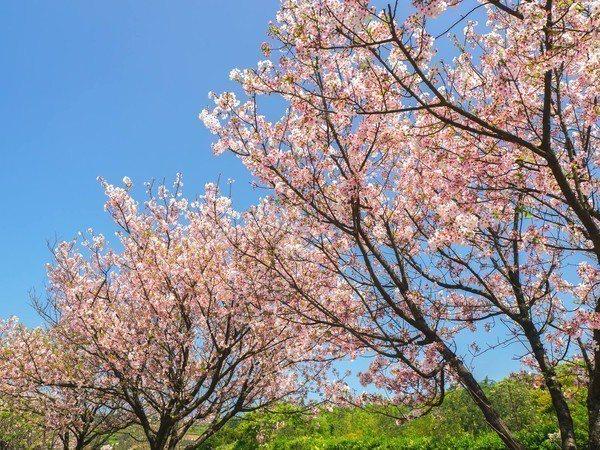 三芝區公所種植大量櫻花,每年舉辦櫻花季。圖/三芝區公所提供