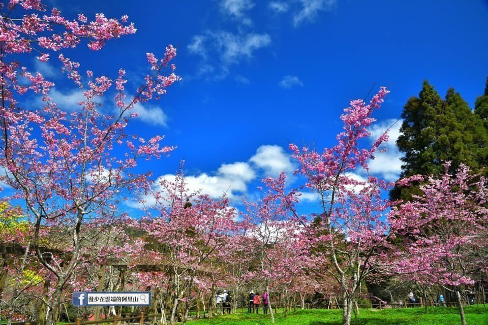 阿里山工作站前的粉紅櫻花盛開。圖/黃源明提供