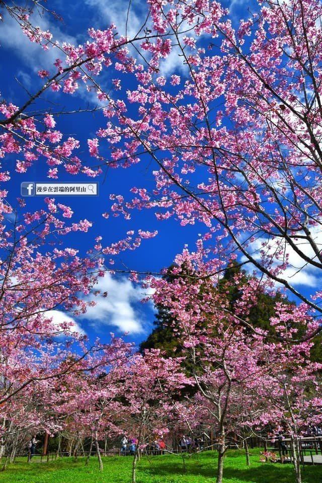 今年暖冬影響花況,阿里山因氣溫低,櫻花如期盛開。圖/黃源明提供