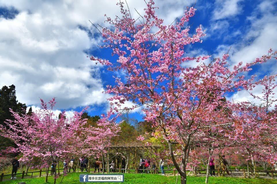 阿里山工作站前的櫻花園,是未來賞櫻的明日之星。圖/黃源明提供