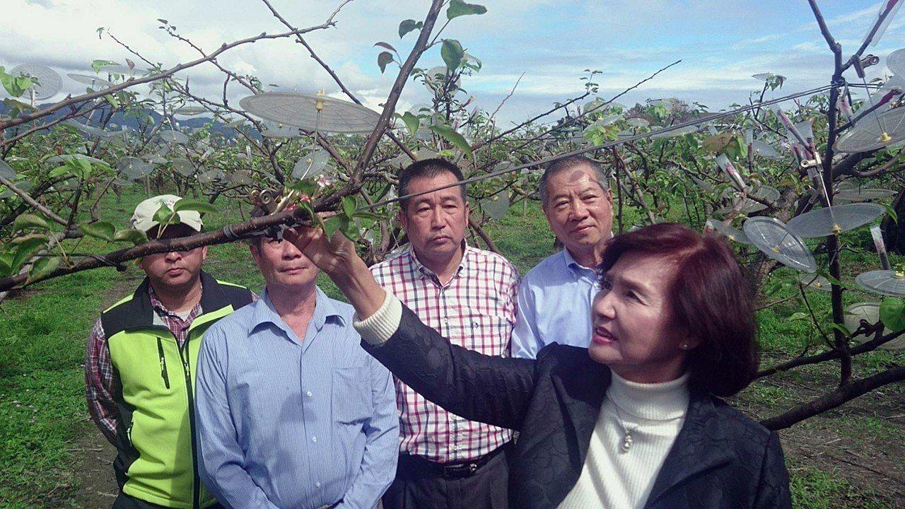 與三星蔥同故鄉的宜蘭縣三星上將梨,年產值破億元,上個月底冷氣團中,才剛接好的梨穗...