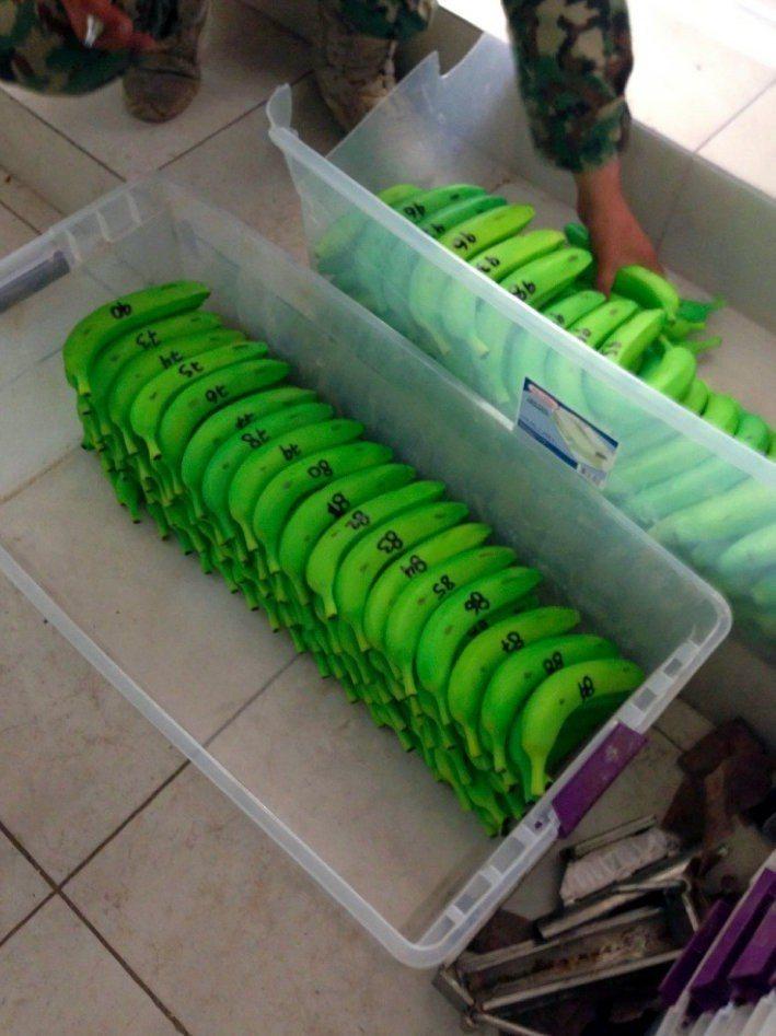 古茲曼的集團利用各種方式運毒,圖為裝滿毒品的塑膠香蕉。這張照片是檢方在審判中提出...