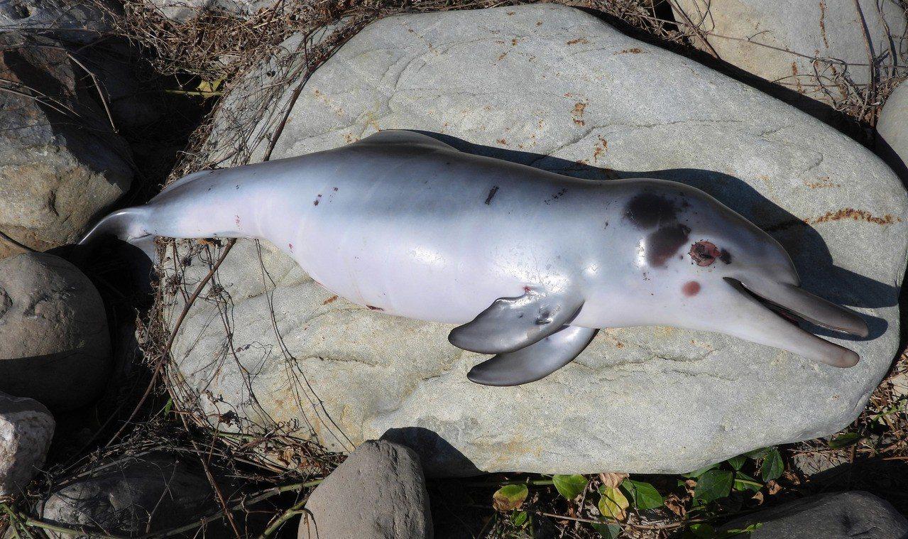 彰化縣環境保護聯盟常務理事蔡嘉陽13日表示,芳苑鄉海岸被發現有一隻死亡白海豚,經...