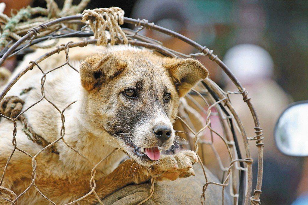 窩動保週報_第023期 越南河內2021年擬全面停止狗肉交易