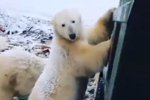 數十頭北極熊「入侵」住家和公共建築物。圖/翻攝Zero Plastic in t...