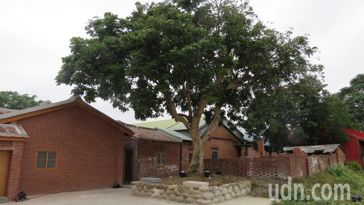蘆竹湳林家起家厝旁的龍眼樹,至今綠意盎然。記者范榮達/攝影