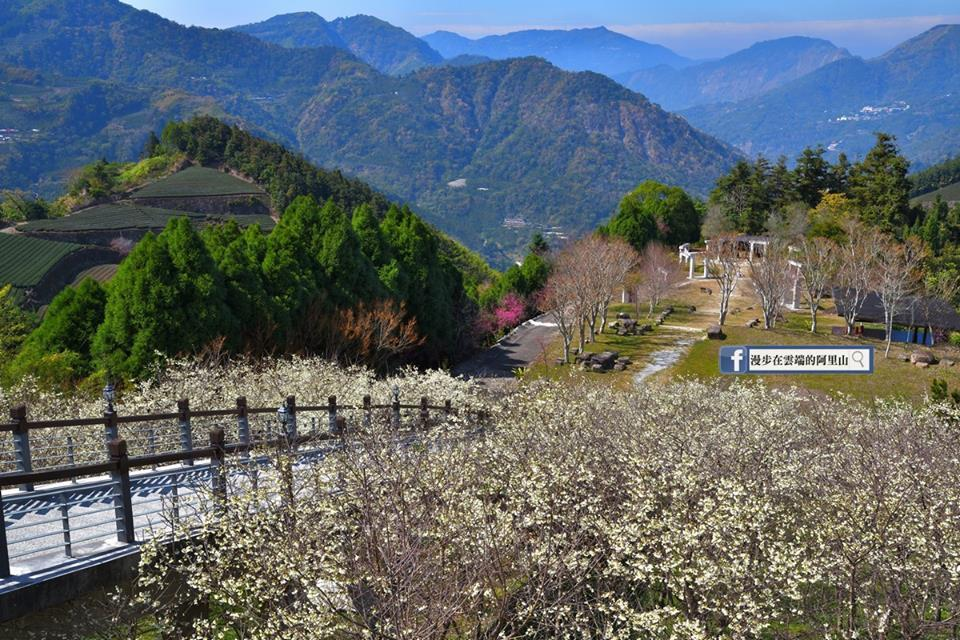 園區的福爾摩沙櫻可以持續到228連假,再來是富士櫻、霧社櫻登場。圖/黃源明提供
