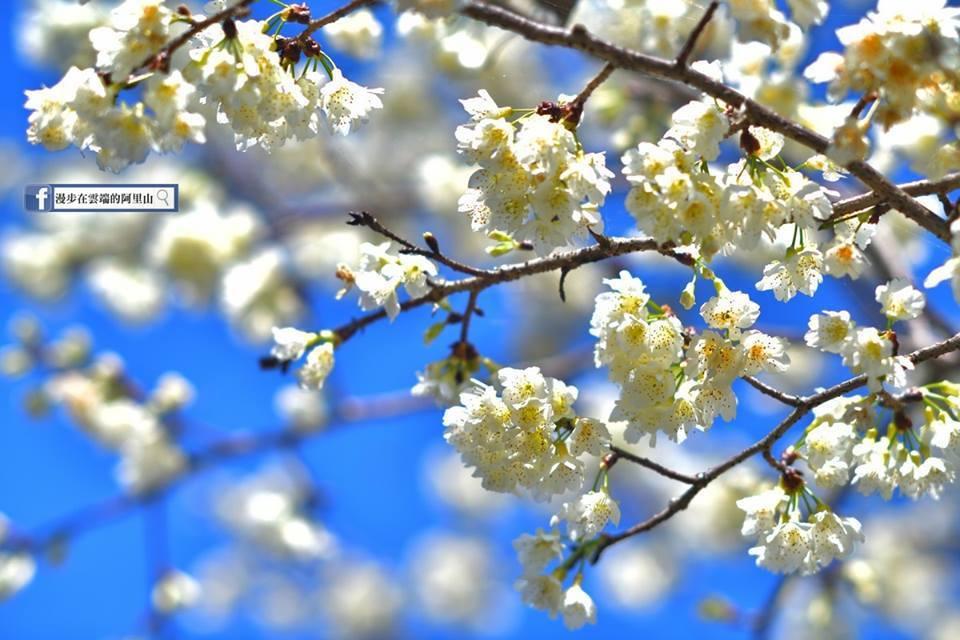 福爾摩沙櫻即是白色山櫻花。圖/黃源明提供