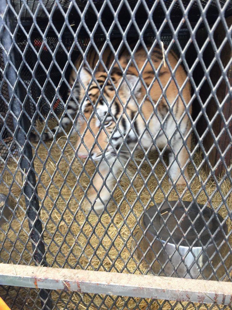 德州一名男子闖進一處廢棄空屋內抽大麻,驚見屋內關了一隻老虎,嚇得他趕緊報警。取自...