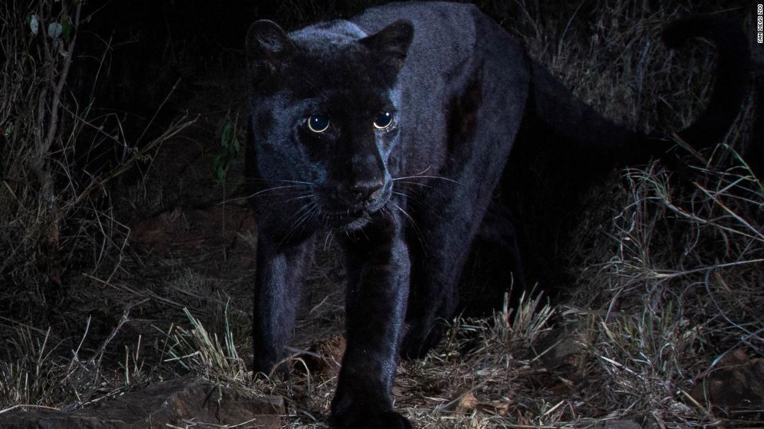科學家日前在肯亞捕捉到罕見的黑豹身影。圖/擷自CNN