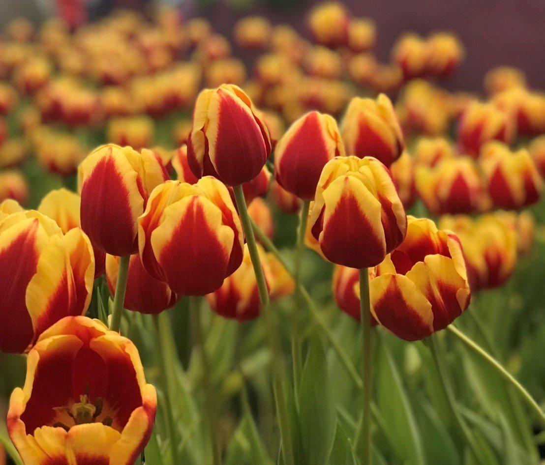 縣府在溪州公園舉辦花在彰化活動,配合花燈營造白天賞花,夜間賞燈的浪漫情境。圖/彰...
