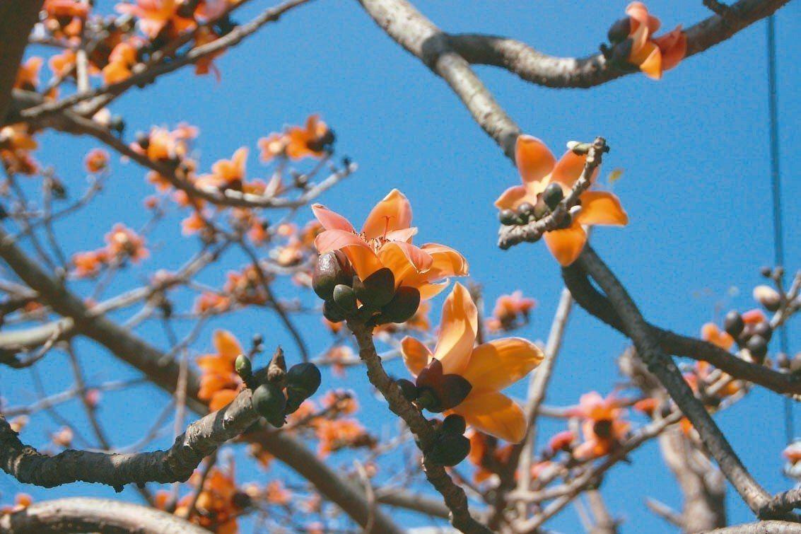 彰化縣埤頭鄉舊濁水溪畔的木棉樹,受暖冬影響提早開花。 記者林敬家/攝影