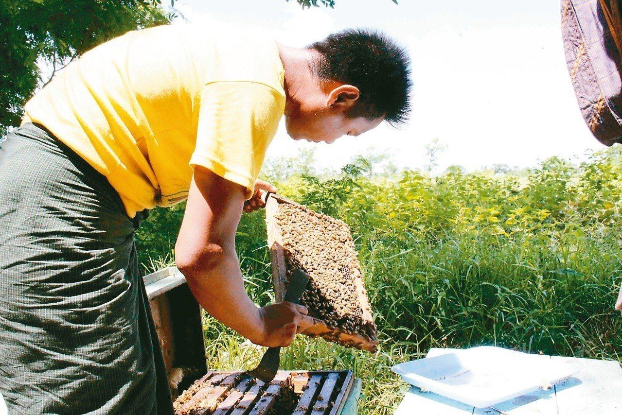 「緬甸農莊」創辦人施圓通販賣緬甸農產品,並引進緬甸蜂蜜,找到創業藍海。 施圓通/...